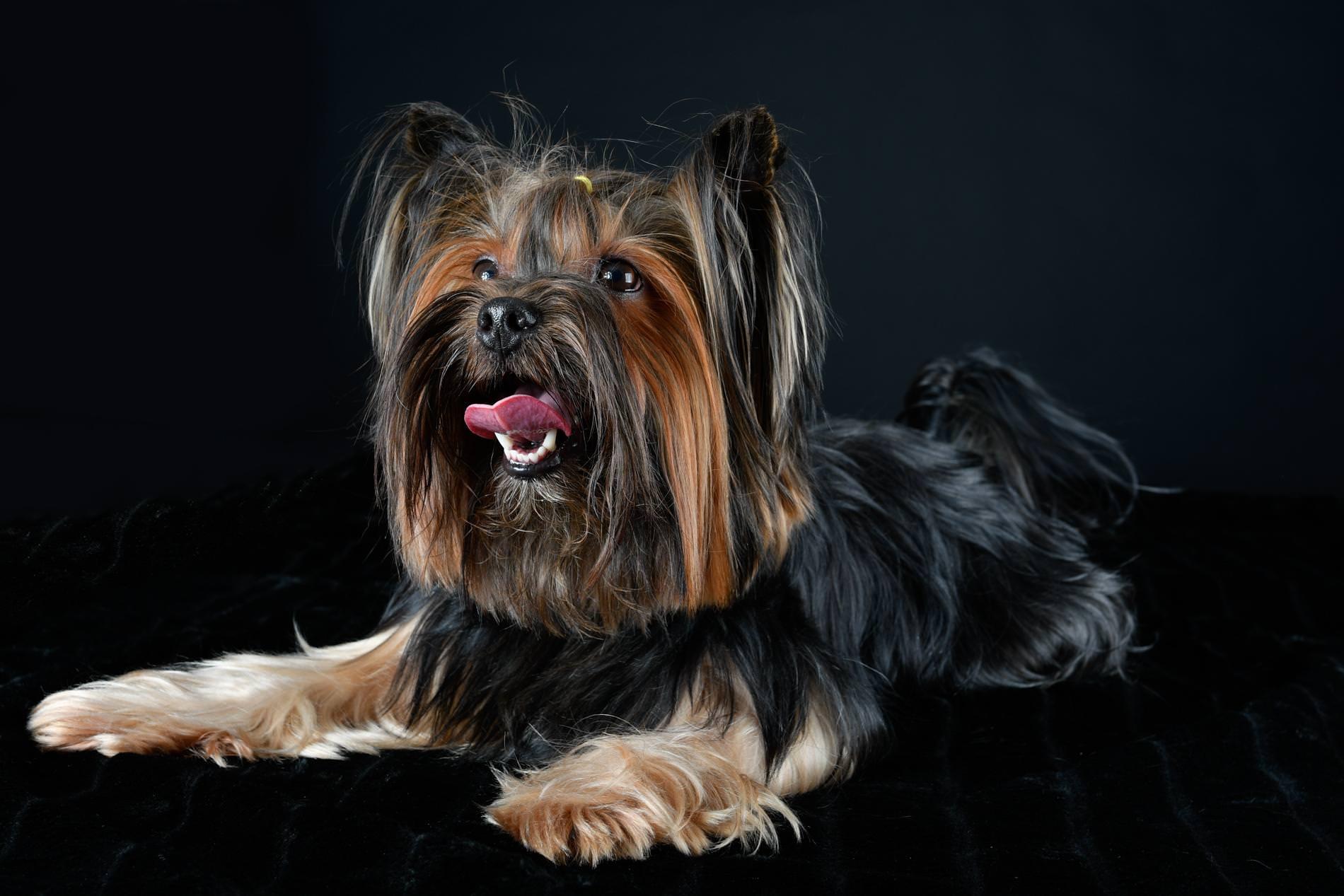 Yorkshirski terier Spajki v fotografskem studiu, fotografiranje psov v studiu, pasja fotografija