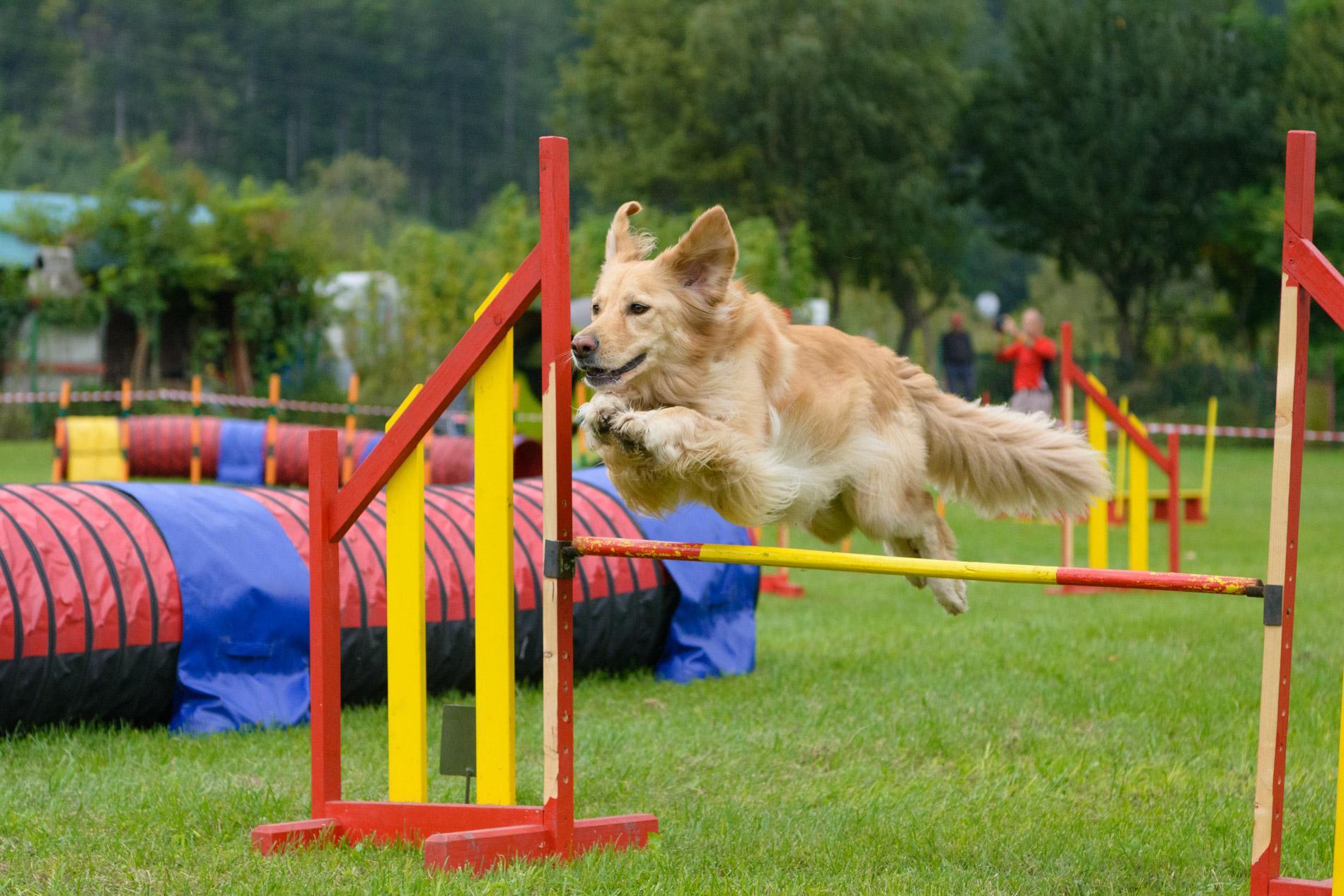 Zlati prinašalec na agility tekmovanju, fotografiranje psov na tekmovanjih, pasja fotografija, agility