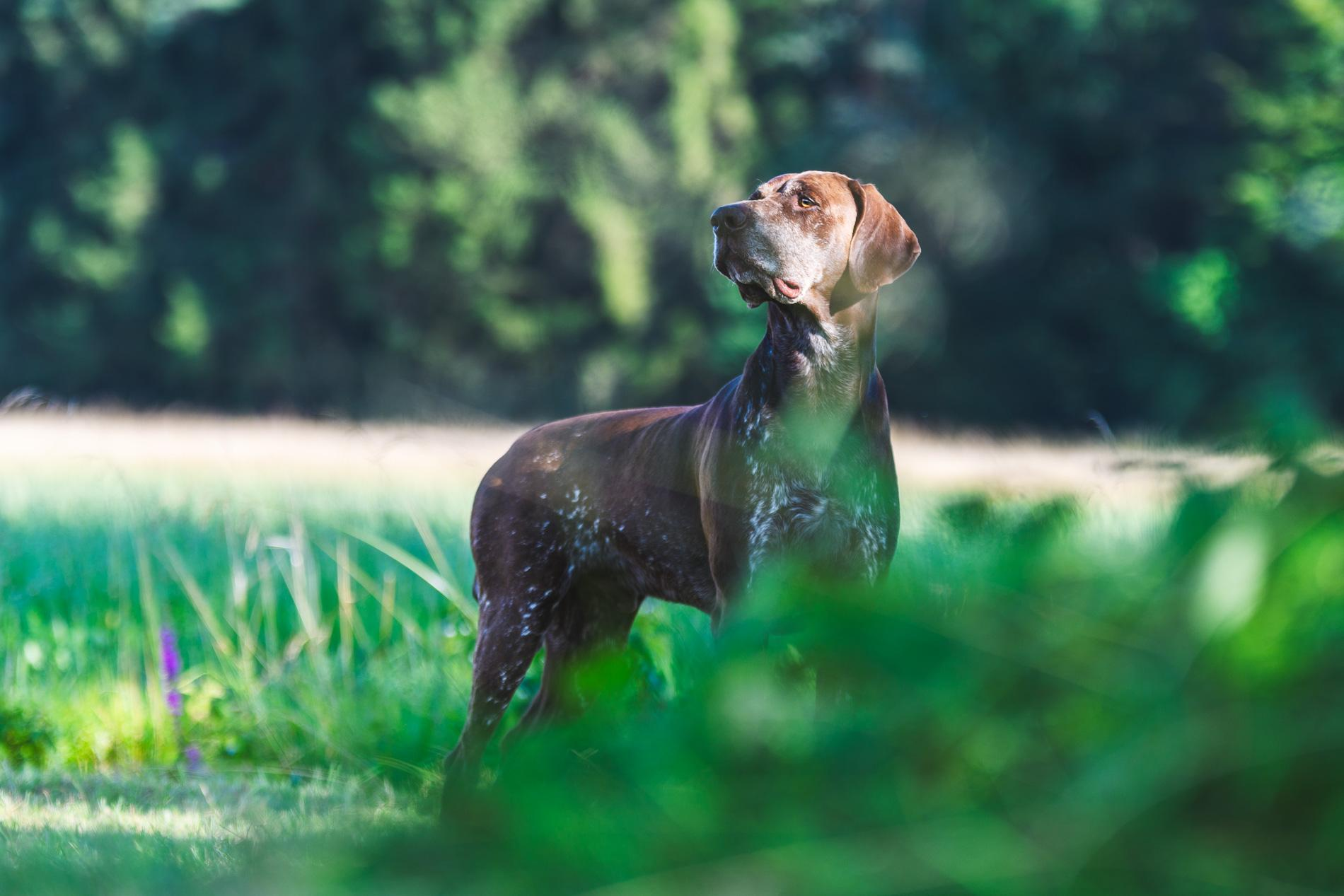 Nemški kratkodlaki ptičar Maj fotografiran v naravi, fotografiranje psov v naravi, pasja fotografija