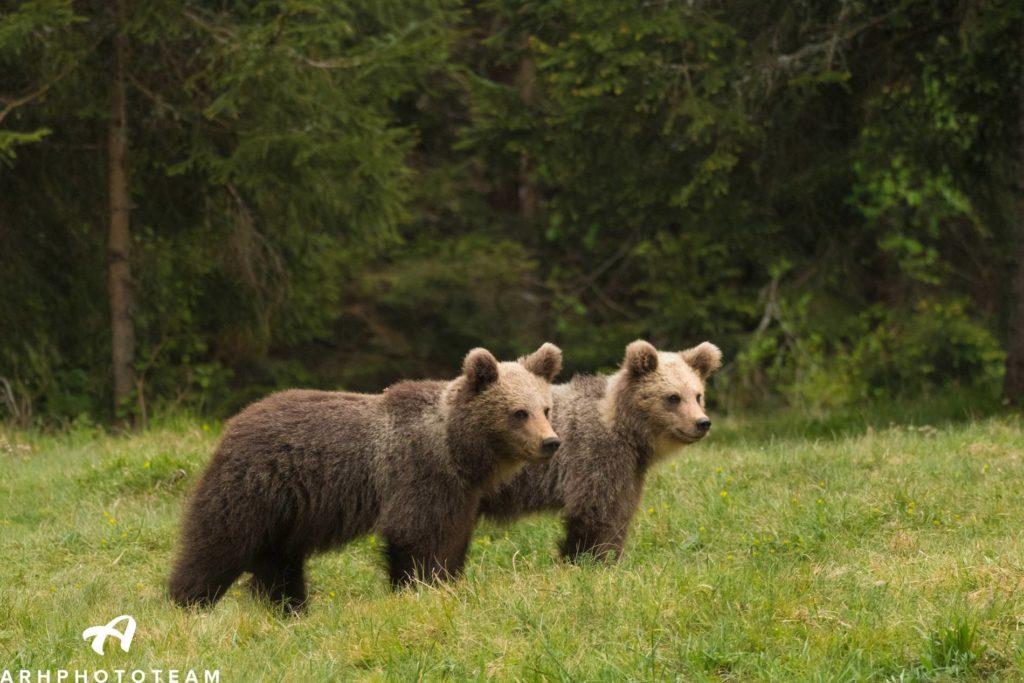 Medveda