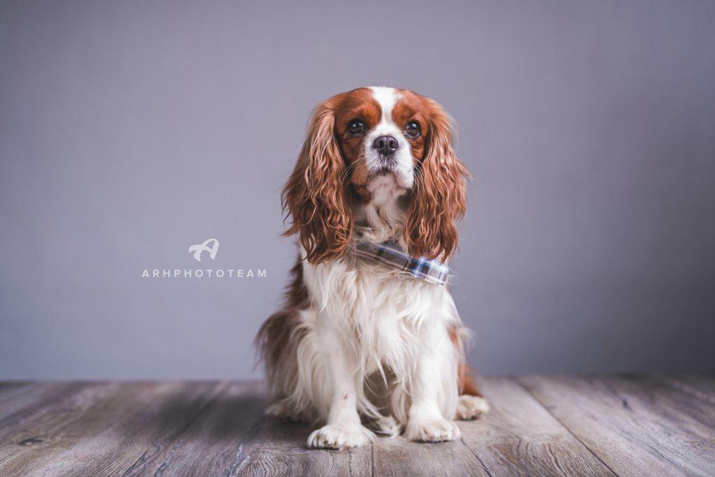 Cavalier King Charles španjelka Pippi fotografirana v studiu, fotografiranje psov v studiu, pasja fotografija