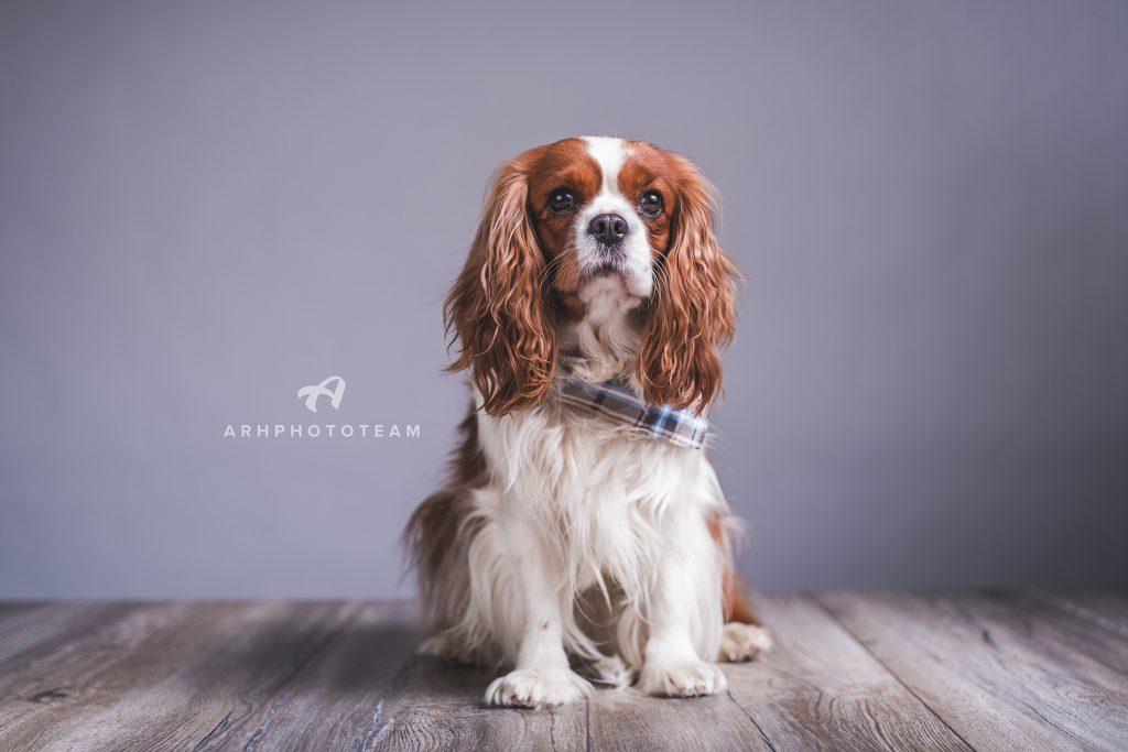 Cavalier King Charles španjelka Zowie v fotografskem studiu, fotografiranje psov v studiu, pasja fotografija