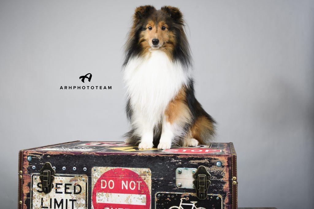 Šetlandski ovčar Mei v fotografskem studiu, fotografiranje psov v studiu, pasja fotografija