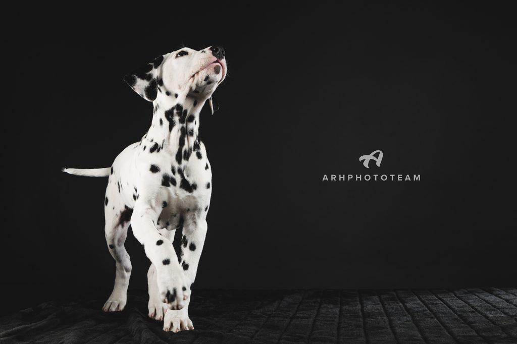 Dalmatinec v fotografskem studiu, fotografiranje psov v studiu, pasja fotografija